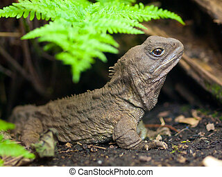 Tuatara reptile - Tuatara, also called living fossil, is a...