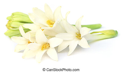 Tuberose or Rajnigandha of Southeast Asia over white...