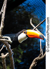 tucan, κλείνω , ανακριτού. , όμορφος , παράξενος , bird.