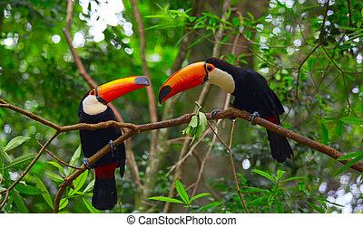 tucan, kleurrijke