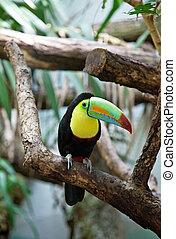 tucan, pássaro, coloridos