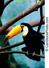 Tucan - Picture of a tucan with nice colors.