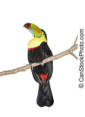 tucan perched on a branch isolated on white
