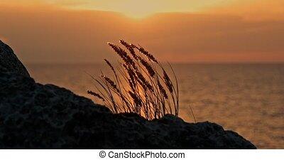 Tuft of grass backlit at sunset