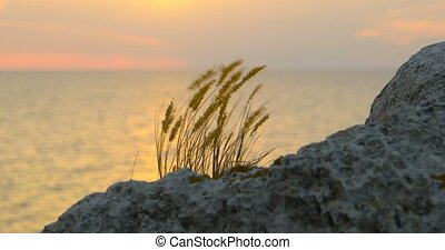 Tuft of grass fluttering on wind in front of sea sunset with...