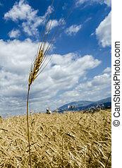 tuft of wheat in a yellow sea