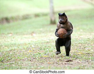 Tufted Capuchin with a coconut - A Tufted Capuchin runs on...