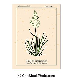 Tufted hairgrass Deschampsia cespitosa , or tussock grass, ...