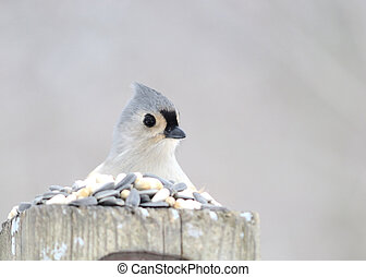 A tufted titmouse perched on a post.