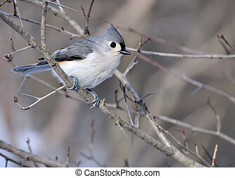 A tufted titmouse perched on a tree branch.