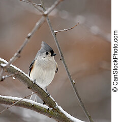 Tufted titmouse, Baeolophus bicolor, perched on a snowy tree branch