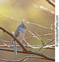 Tufted titmouse (Baeolophus bicolor) perched on a tree branch