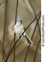 Tufted Titmouse in thicket