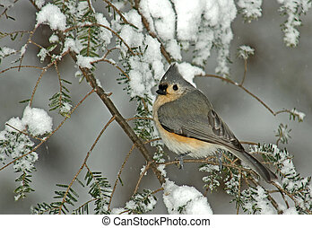 Tufted Titmouse (Parus bicolor) perched on a snow covered Evergreen during a snow storm in winter.