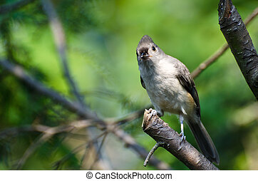 Tufted Titmouse Looking You in the Eye While Perched on a Branch