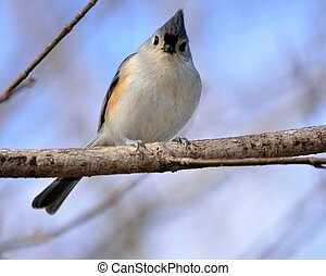 Tufted Titmouse perched on a tree branch.