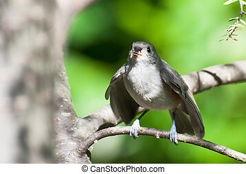 Tufted Titmouse Ready to Fly