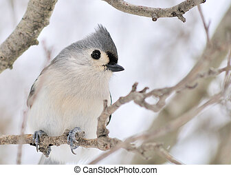 Tufted Titmouse - A tufted titmouse perched on a tree...