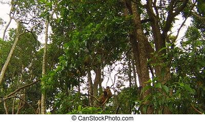 Brown Capuchin Monkeys - Tufter or Brown Capuchin Monkeys....