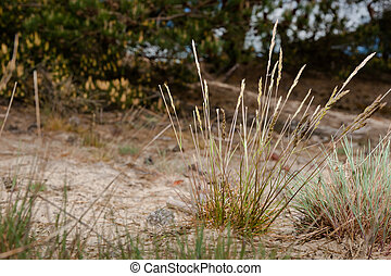Tufts of gray hairgrass on a Sand Plain with Dunes in a Dutch nature reserve