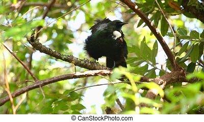 Tui bird in the trees - Tui bird singing in the trees
