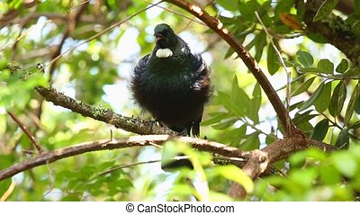 Tui bird in the trees