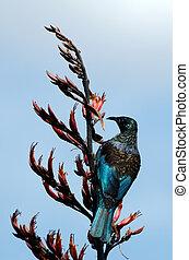 Tui (Prosthemadera novaeseelandiae) An endemic passerine bird of New Zealand.