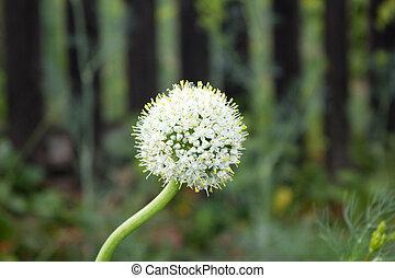 tuin, lente, zaad, groeiende, uien, inflorescence