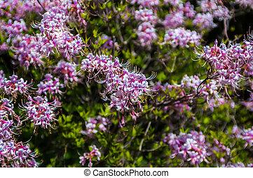 tuin, traditionele , bloeien, flora, azalea, (rhododendron)