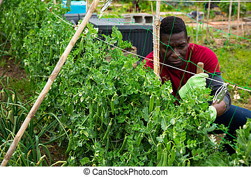 tuinman, bonen, tuin, man, werkende , seedlings