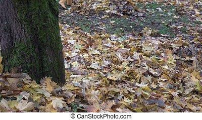 tuinman, hark, droog, de bladeren van de esdoorn, in park,...