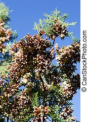 Tuja seed, crop - The harvest branches heavily laden arbor...