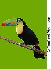 tukan, ptak, barwny, w, zielone tło