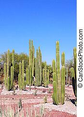 tula, succulents, ellen-, kert, kaktusz, mexikó, allende