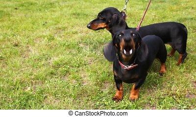 tulajdonos, jár, noha, két, badger-dogs, képben látható,...