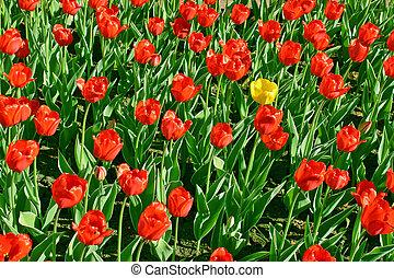 tulipán, amarillo, rojo
