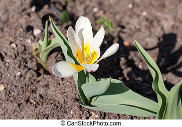 tulipán blanco, en, el, primavera