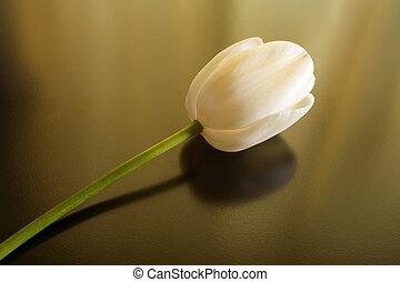 tulipán, blanco, uno