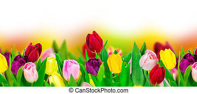 tulipán, colorido, flor, panorámico, frontera, blanco