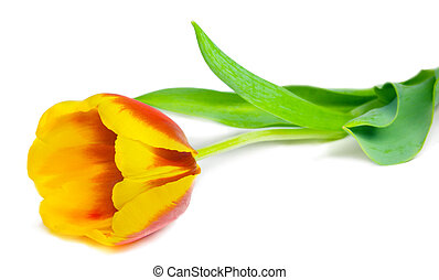 tulipán, encima, blanco