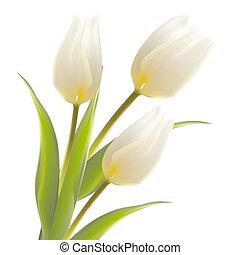 tulipán, flor, aislado, encima, white.