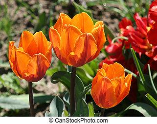 tulipán, flor