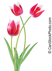 tulipán, flores, bicolor