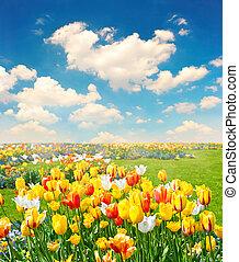 tulipán, flores, campo, encima, cielo azul