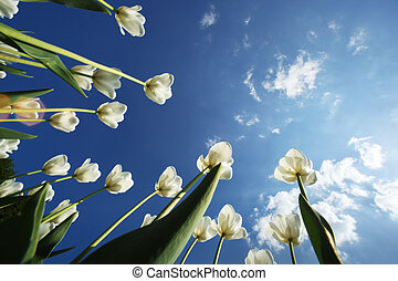 tulipán, flores, encima, cielo, plano de fondo