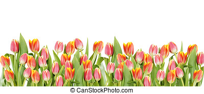 tulipán, flores, frontera