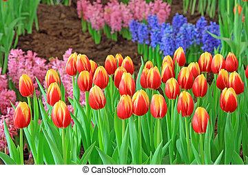 tulipán, flores, jardín