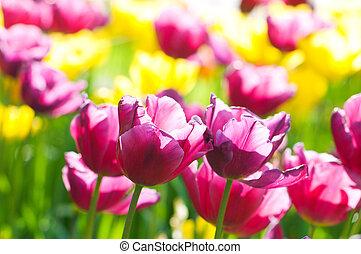 tulipán, flores, parque