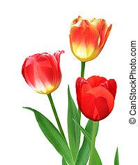 tulipán, flores