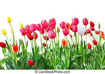 tulipán, frontera